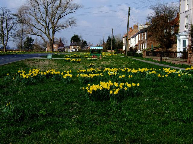Flaxton_Daffodils_-_geograph.org.uk_-_747205