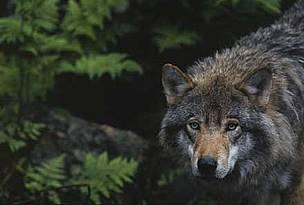 swedish_wolf_403427